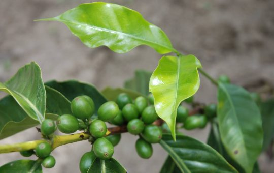 koffieproject ecassef