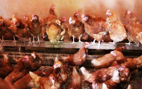 wmh-project-kippenboerderij-fracarita
