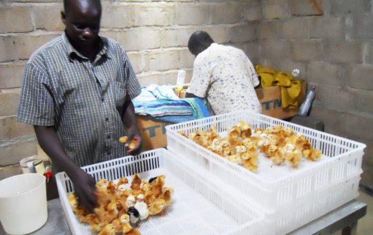 kippenkwekerij mali